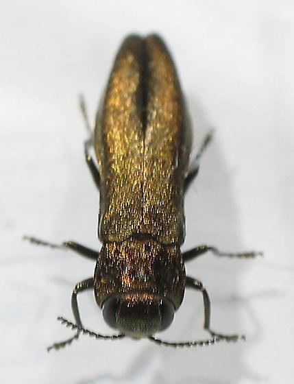 Buprestidae - Agrilus? - Agrilus cuprescens