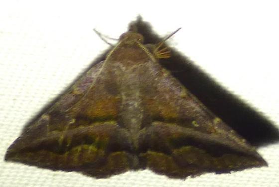 unknown moth - Lesmone detrahens