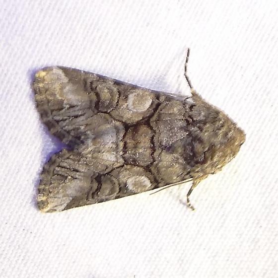 ID Request - Hadena capsularis