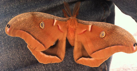 Antheraea polyphemus - Apollo - Antheraea polyphemus