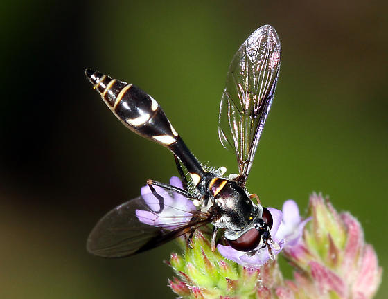 unidentified Syrphidae - Dioprosopa clavata