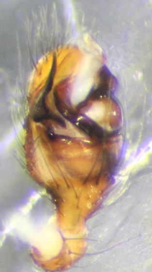 Spider--voucher image - Platnickina alabamensis - male