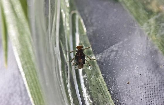 Baetidae, Acentrella turbida - Acentrella turbida
