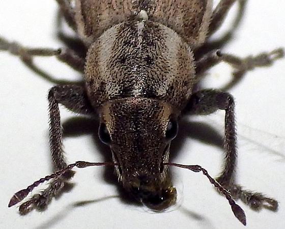 Naupactus peregrinus