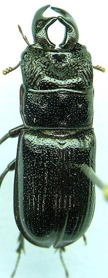 Ceruchus - Ceruchus piceus - male