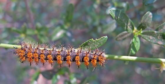 Hemileuca eglanterina larva? - Hemileuca eglanterina