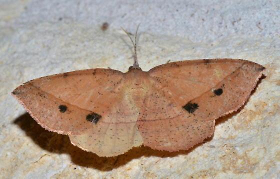 Please help me to identify this moth. - Erastria cruentaria - female