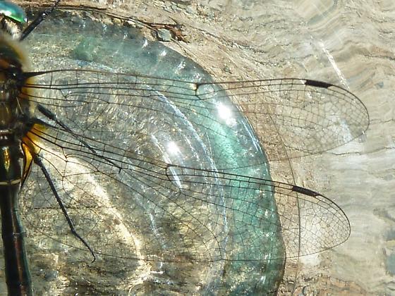 Libellulidae - Cordulia shurtleffii
