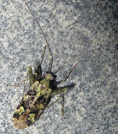 Plant Bug - Phytocoris tiliae