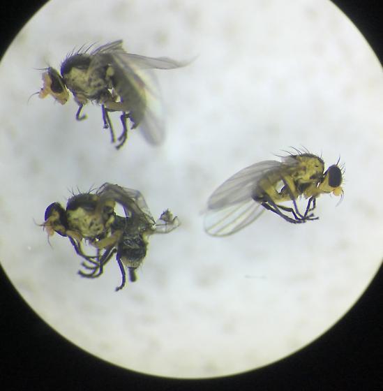 Agromyzidae? James Bay, Ontario, Canada. Aug 2017. - Liriomyza assimilis