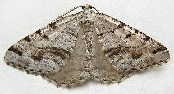 Geometrid Moth - Macaria decorata - male