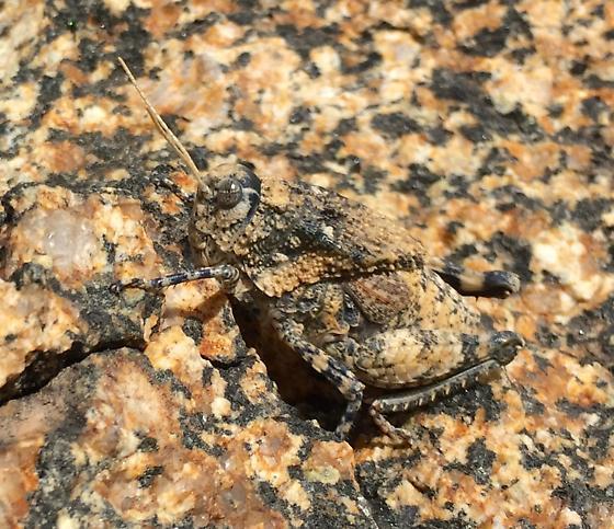 Chihuahua Lubber - Phrynotettix tshivavensis - female