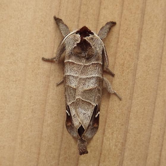 Notodontidae: Clostera albosigma - Clostera albosigma