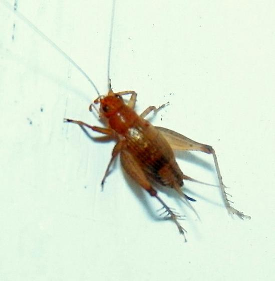 Hebard's Trig - Falcicula hebardi - female