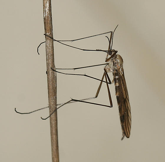 fly - Cramptonomyia spenceri