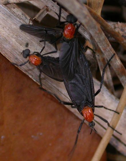 Plecia nearctica - male - female