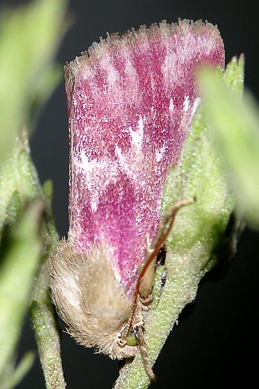 Bleeding flower moth