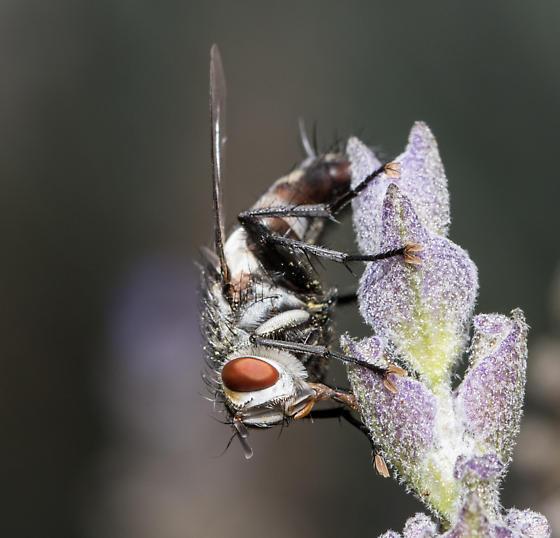 Tachinid fly - Chetogena - Chetogena