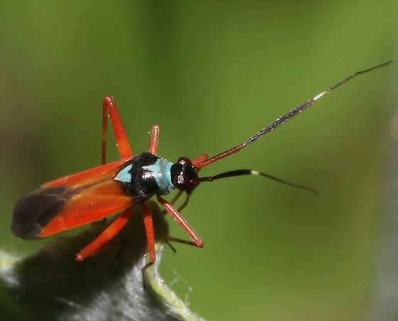 Pretty Bug - Garganus splendidus