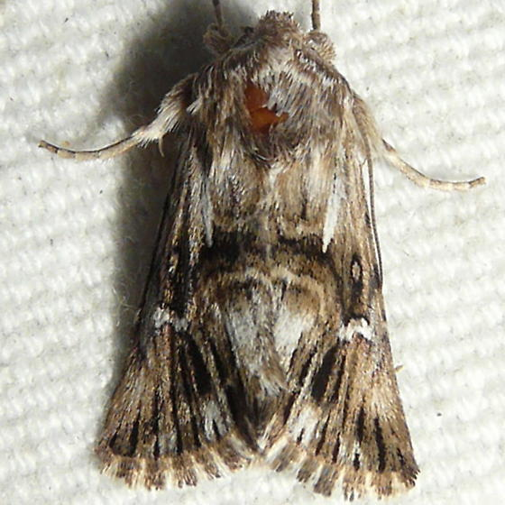 moth ID please - Calophasia lunula