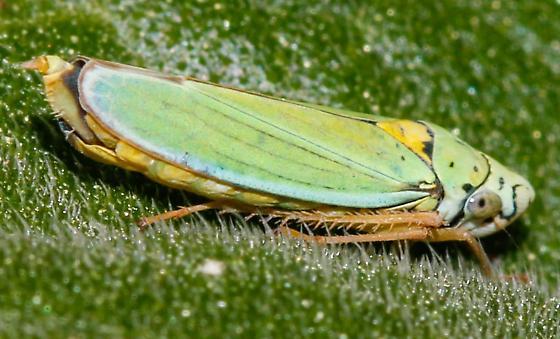 Hordnia sp.; H. circellata? - Graphocephala atropunctata