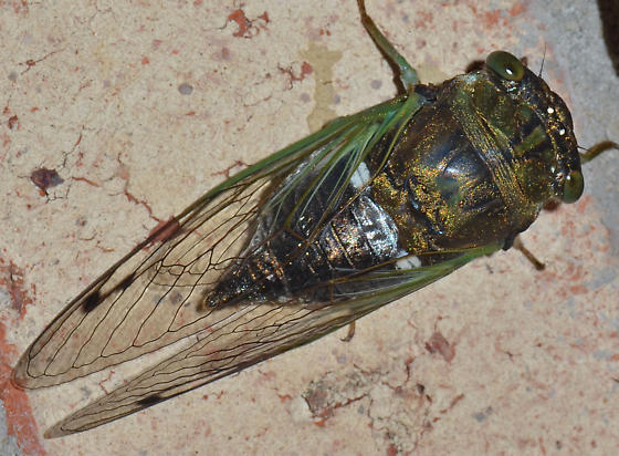 Cicada - Neotibicen tibicen - female