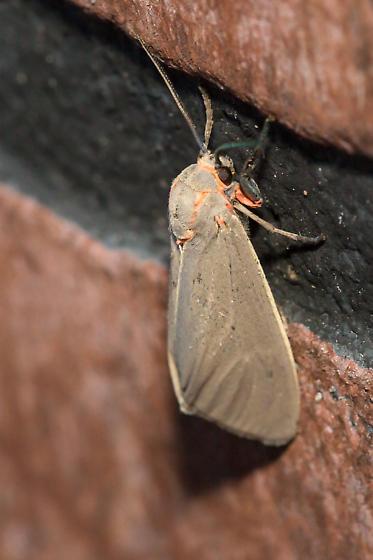 Pygarctia abdominalis - Pygarctia
