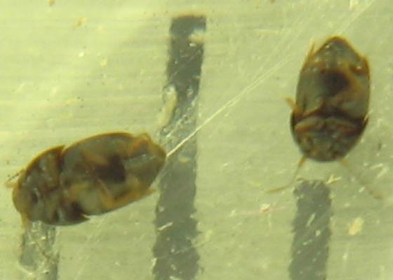 tiny ptiliid - Acrotrichis