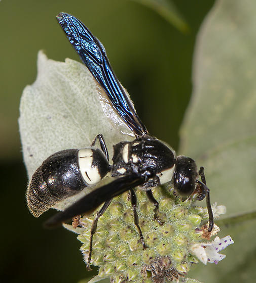 Four-toothed Mason Wasp - Monobia quadridens