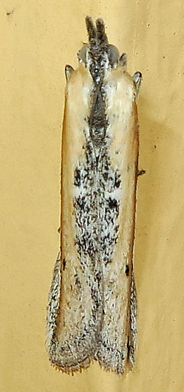 White-edged Pima Moth? - Pima