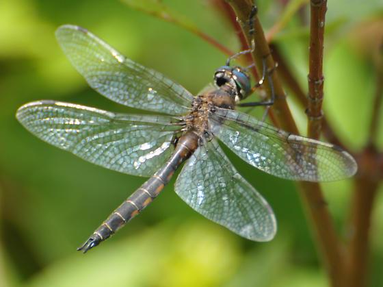 Unknown Odonata species - Epitheca spinigera