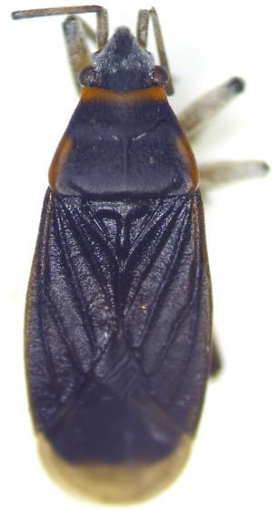 Melacoryphus rubicollis