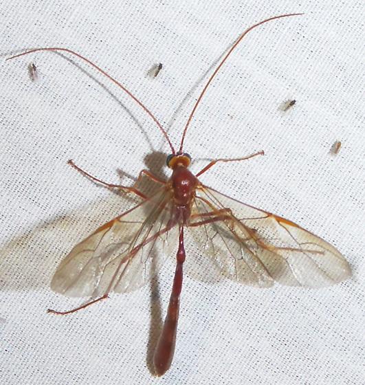 Enicospilus americanus-complex - Enicospilus - female