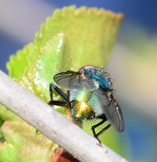 Blue bottle fly? - Lucilia - female