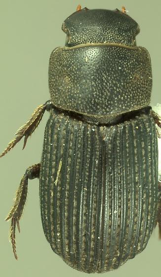 Aphodiin - Ataenius insculptus