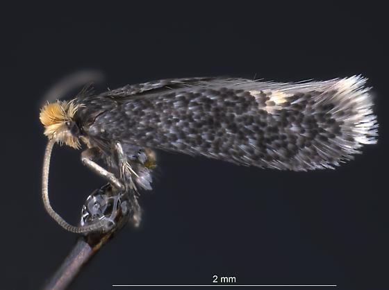 Fomoria? - Fomoria septembrella - male