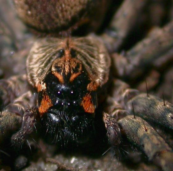 Sosippus mimus - female