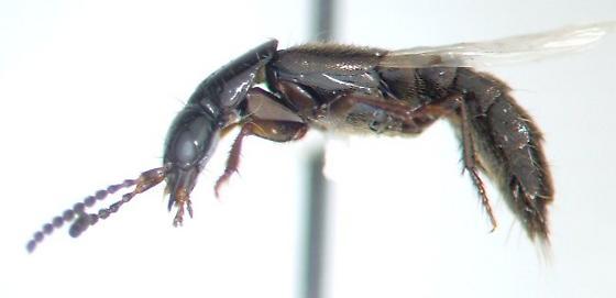 Staphy 04 - Philonthus rectangulus - male