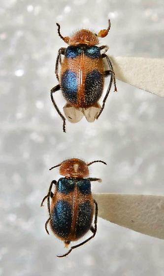 Colops - Collops - male - female
