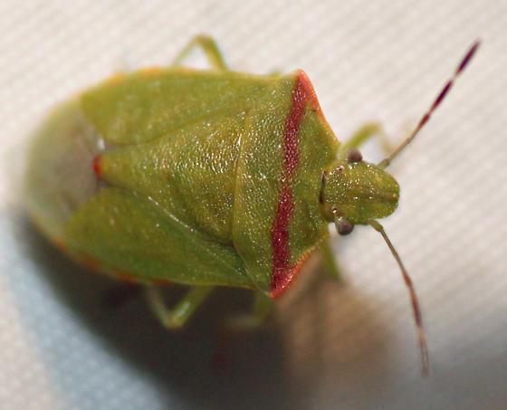 bug - Thyanta pallidovirens