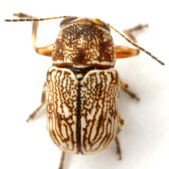 Pachybrachis varians Bowditch - Pachybrachis varians