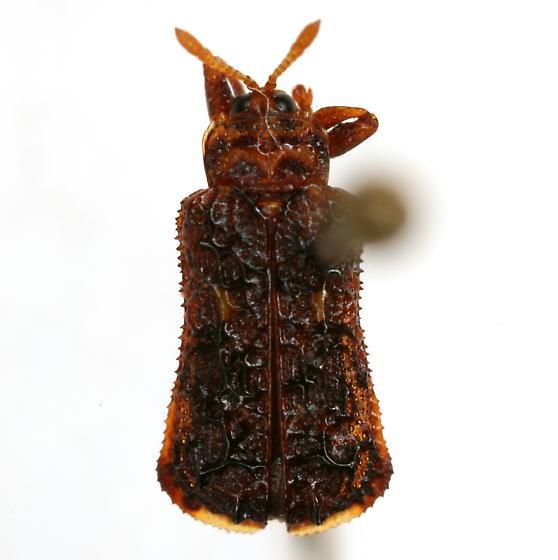 Octotoma marginicollis Horn - Octotoma marginicollis