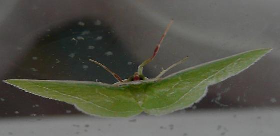 Emerald moth - Nemoria mimosaria