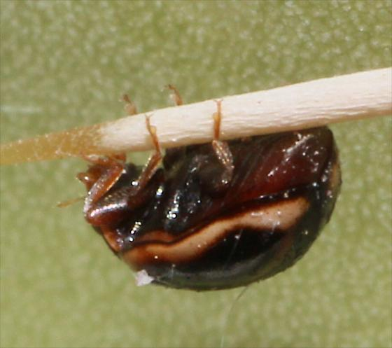 Hyperaspis Lady Beetle - Hyperaspis trifurcata