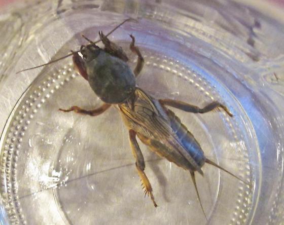 Any ideas? - Gryllotalpa gryllotalpa - male