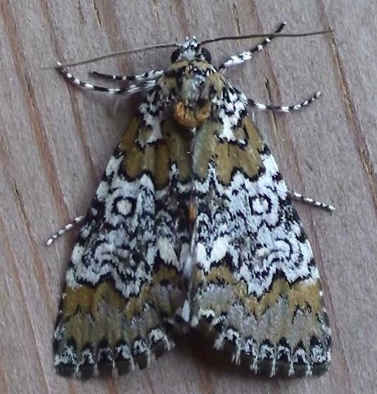 Noctuidae: Cerma cora - Cerma cora