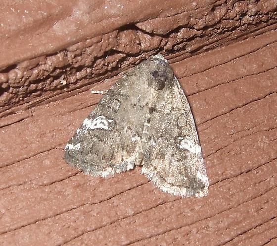 Gray Marvel - Anterastria teratophora