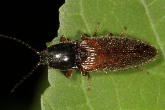 Beetle - black thorax reddish brown abdomen - Hemicrepidius hemipodus