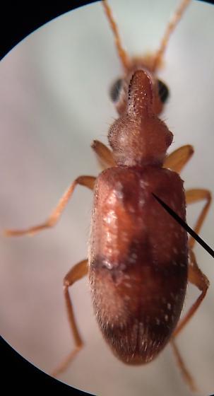 Beetle - Notoxus planicornis