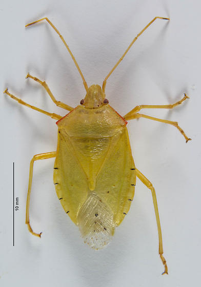 Large Stink Bug... - Chlorocoris werneri